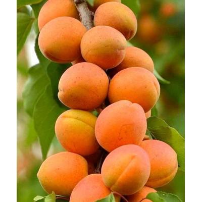 "Саженец абрикоса колоновидного ""Звездный"""
