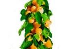 Саженцы абрикоса колоновидного
