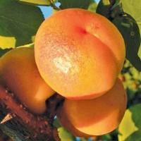 "Саженец абрикоса ""Цегледи Бибер"""