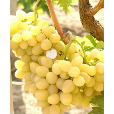 "Саженец винограда ""Аркадия"""