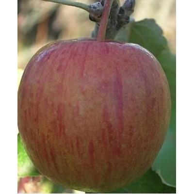"""Саженец яблони  """"Бребурн"""""""
