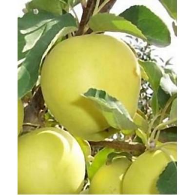 "Саженец яблони  ""Гибсон"""